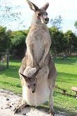 A mother kangaroo carrying baby joey in her pouch poster