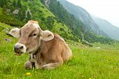 Cow relaxing in alpine meadow poster