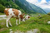 Cows herd in alpine valley poster