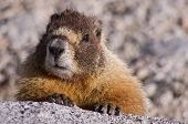 a yellow bellied marmot looks over a granite rock in the Sierra Nevada of California poster