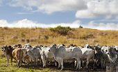 Herd of brahman beef cattle cows in rural Queensland poster