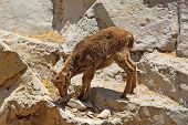 Little gray goatling climbing on the rock poster