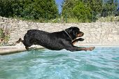portrait of a purebred plunging rottweiler in a swimming pool poster