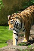 a big tiger looking at green water poster