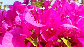 Bright And Botany Picture With Pink Bougainvillea Floral Best For Website Design. Royalty Free Stock