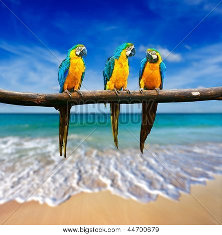 Tropical vacation concept - three parrots (Blue-and-Yellow Macaw (Ara ararauna) also known as the Blue-and-Gold Macaw ) on tropical beautiful beach and  sea