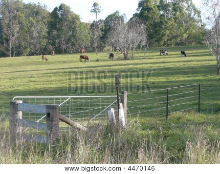 Cattle Grazing In Rural Area Near Bellbrook Nsw Australia