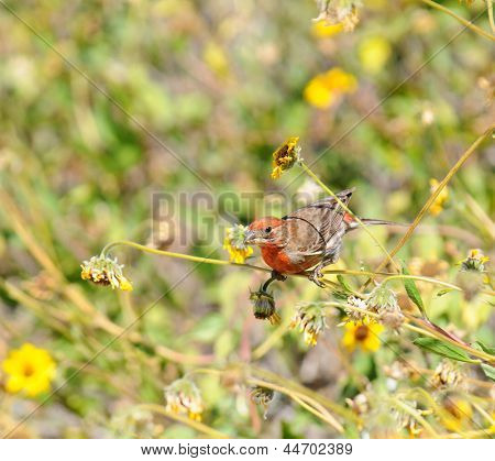 House Finch (Carpodacus mexicanus) feeding on the seeds of daisy like flowers.