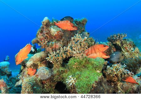 Blacktip Grouper fish on coral reef
