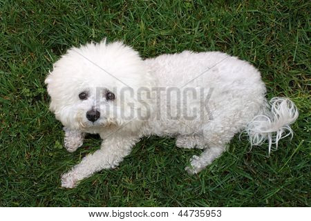 A beautiful pure breed Bichon Frise enjoys an warm spring afternoon in the sun while laying in fresh cut green grass. poster