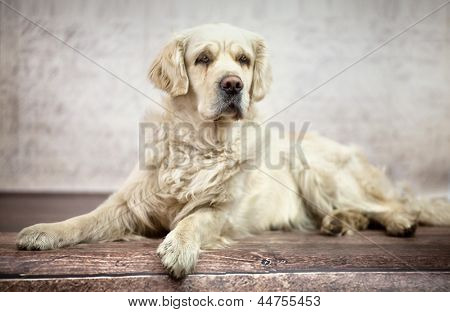 golden retriever dog laying poster