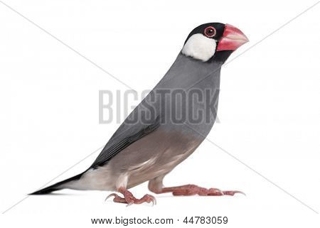 Java Sparrow - Padda oryzivora - isolated on white