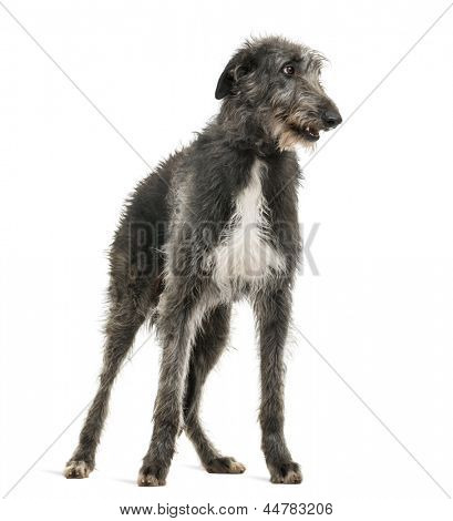 Scottish Deerhound looking right, isolated on white