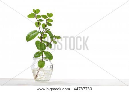 hydroponics culture od mint plant isolated on white