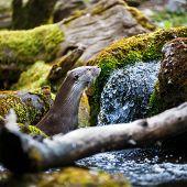 Eurasian otter (Lutra lutra) poster