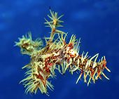 Ornate Ghost Pipefish poster
