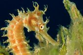 Thorny Seahorse in seagrass poster