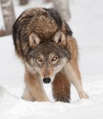 Grey Wolf (Canis lupus) Digs in Snow - captive animal poster