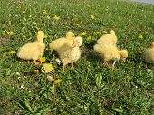 Ducklings on meadow with dandelions. In grass poster