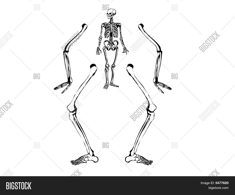 Vector y foto Dibujo Esqueleto (prueba gratis) | Bigstock