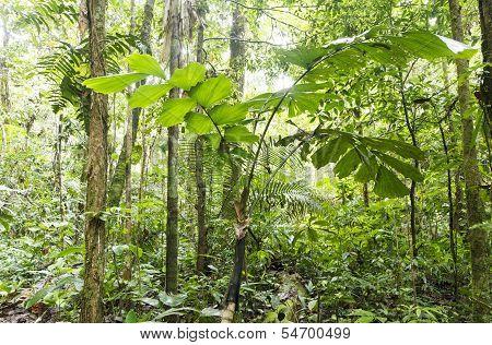 Palm tree (Iriartea deltoidea)