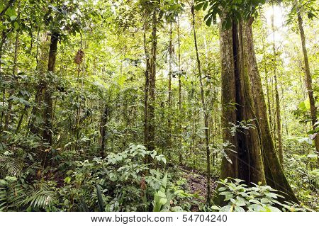 Giant rainforest tree