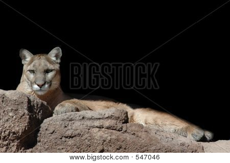 Lounging Lion
