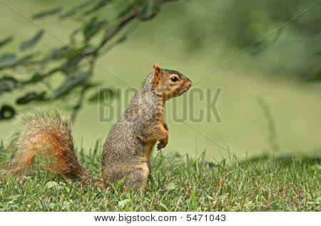 Fox squirrel (Sciurus niger) sitting up in the grass poster