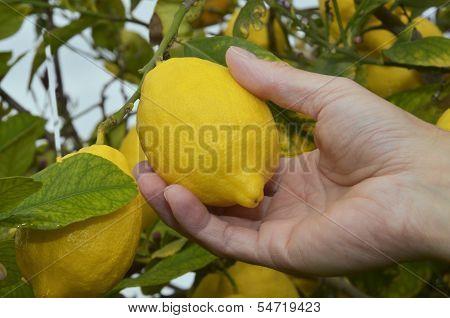 Picking ripe lemon