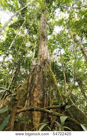 Large tree in primary tropical rainforest