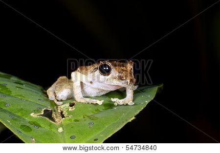 Rain Frog (Pristimantis ockendeni)