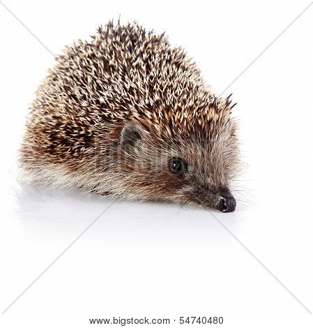 Prickly common hedgehog on a white background poster