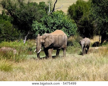 Elephant Cow And A Her Baby