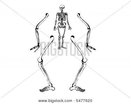 Human Skeleton Drawing