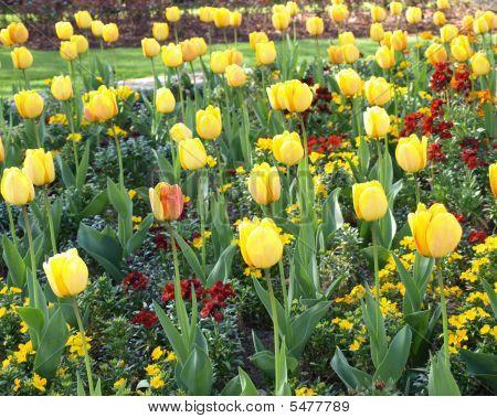 Tulips In Formal Garden Bed