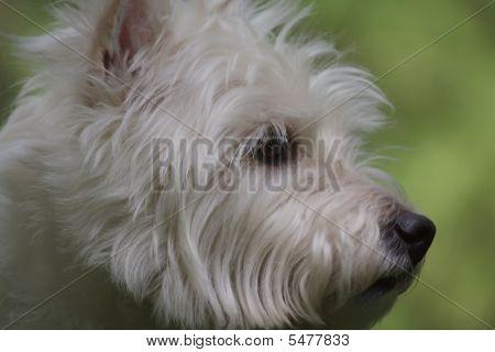 Westie Profile