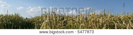 Sommerliches Weizenfeld