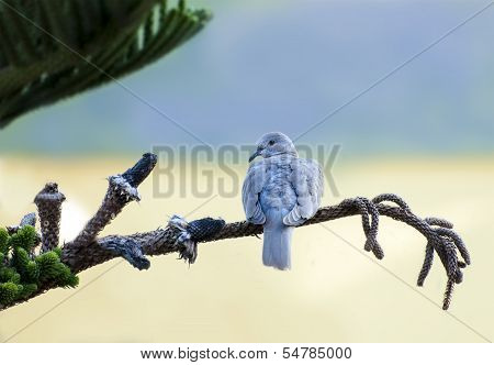Collared dove,  Streptopelia senegalensis
