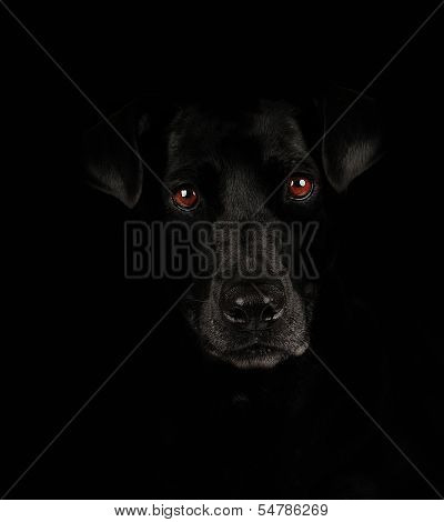 Lab with red eyes