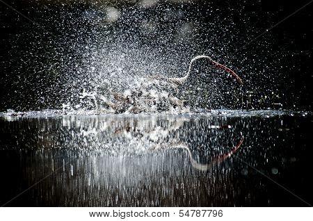 Ibis splash