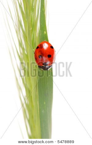 ladybug on a plant isolated on white poster