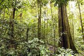 Giant rainforest tree with buttressed roots and fluted trunk Ecuador poster