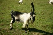 Picturesque summer landscape. Bill goat on pasture poster