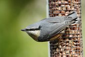 A Eurasian Nuthatch (Sitta europaea) perched openly on a peanut feeder. poster