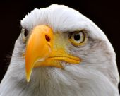 Close- up of American Bald Eagle on a dark background. poster
