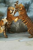 Three Southeast Asian tigers having a fight poster