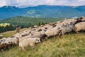 A flock of sheep in a mountain valley. Eco tourism in romanian charpatians mountains.   poster