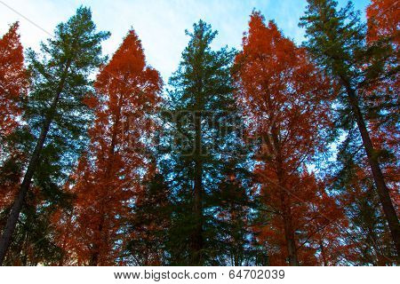 Row of sequoias and metasequoias