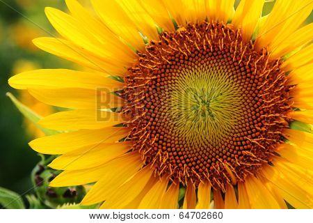 Close Up Follen In Sunflower