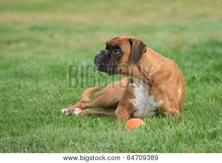 Female Young Boxer Dog In Park